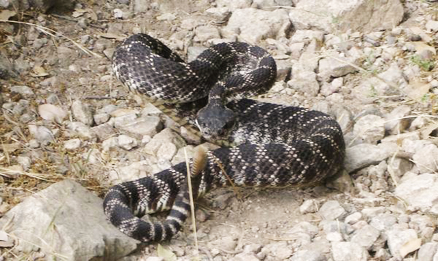 Snake Bites While Hiking What To Do 1 (1)