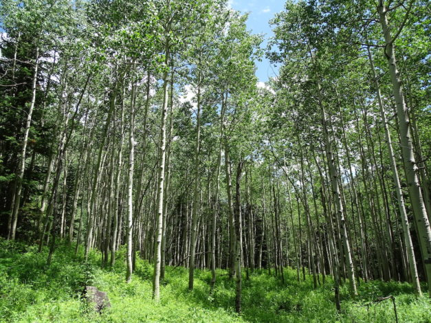 Hike view of tall trees with high grasses