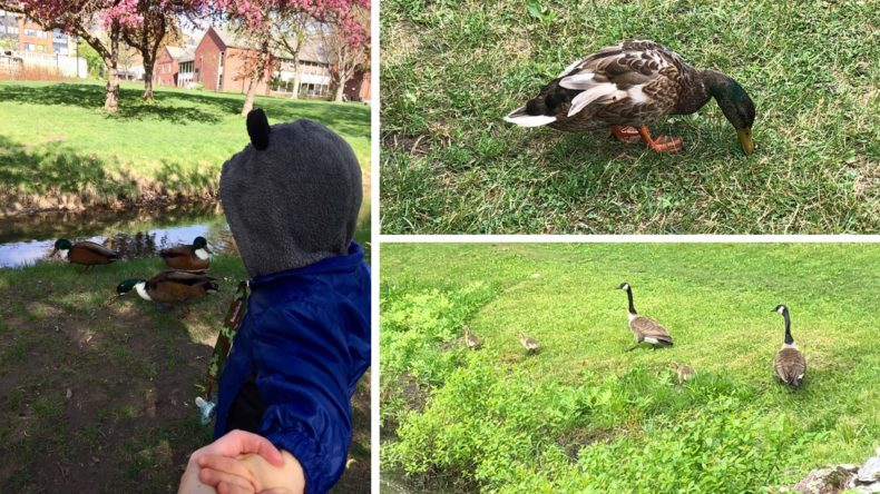 5 Reasons why it's a bad idea to feed waterfowl by Rebecca Hosley for Hike it Baby